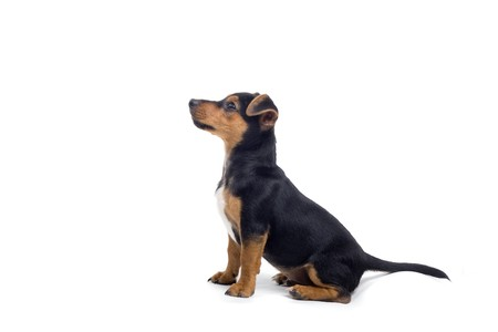 black and brown jack russel terrier dog sitting. profile Stock Photo - 7238290