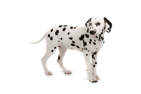side view of cute dalmatian puppy isolated on a white background Stock Photo