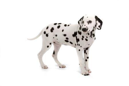 dalmatier: zijaanzicht van cute Dalmatische pup geïsoleerd op een witte achtergrond Stockfoto