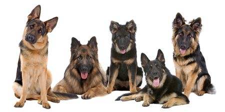 haired: Group of German Shepherd dogs on a white background