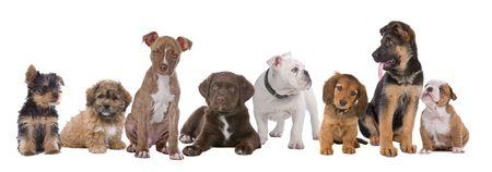 white shepherd dog: grande gruppo di cuccioli su un background.from bianco a sinistra a destra, Yorkshire terrier, miscelati razza boomer, pitbull terrier, cioccolato labrador, bulldog francese, bassotto, pastore tedesco e un bulldog inglese