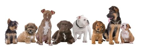 large dog: large group of puppies on a white background.from left to right, Yorkshire terrier,mixed breed boomer, pitbull terrier,chocolate labrador,French bulldog, dachshund,German shepherd and an English bulldog