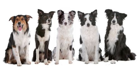 pack animal: five border collie dogs isolated on a white background
