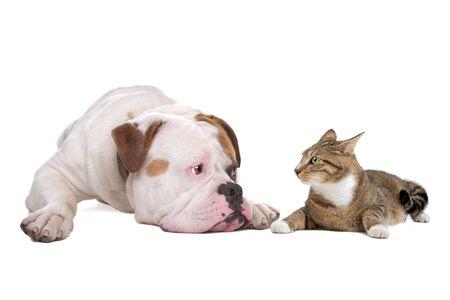 shorthaired: Bulldog americano y un gato Mast�n europeo aislado en un fondo blanco  Foto de archivo