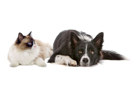 collie: border collie dog and a long haired cat with blue eyes isolated on a white background