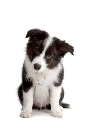 collie: Sitting Border Collie puppy dog looking into the camera isolated on a white background Stock Photo