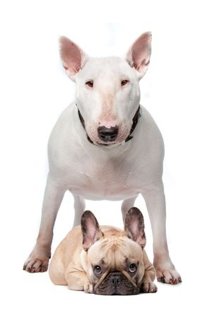 bul: A white bull terrier and a French bulldog on a white background Stock Photo