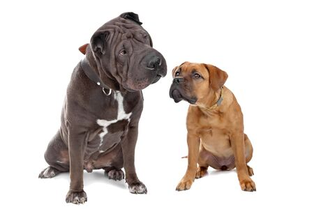 Chinese Sharpei dog and a French mastiff puppy isolated on a white background Stock Photo - 8007870