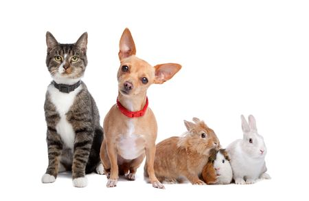 pet: European shorthaired cat, chihuahua dog, rabbits and a Guinea Pig isolated on a white background