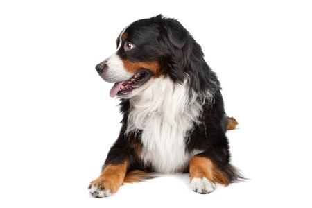 berner: Bernese Mountain Dog isolated on a white background Stock Photo