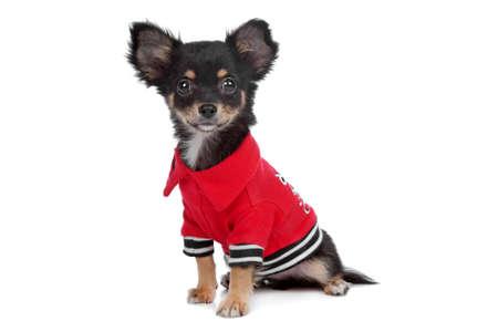 tricolour: Tricolour smooth Chihuahua