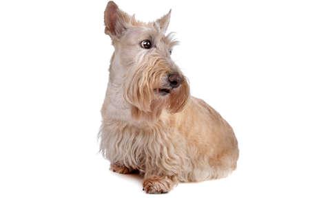 Scottish Terrier Stock Photo - 8049212