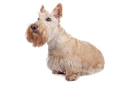 Scottish Terrier Stock Photo - 8049229