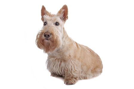 Scottish Terrier Stock Photo - 8049167