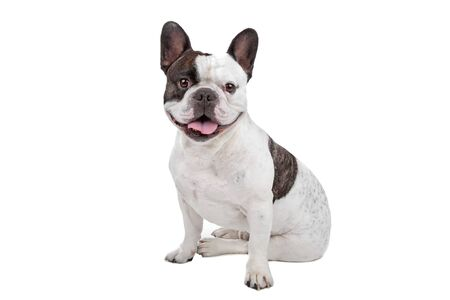frenchie: French Bulldog isolated on white Stock Photo