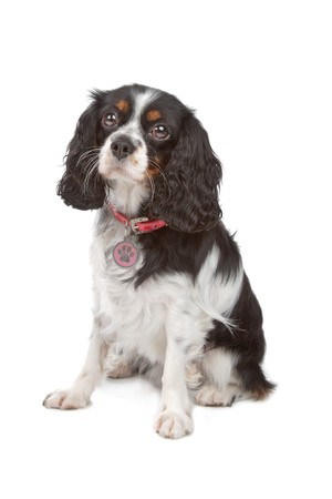 cavalier king charles spaniel: Cavalier King Charles Spaniel isolated on white Stock Photo
