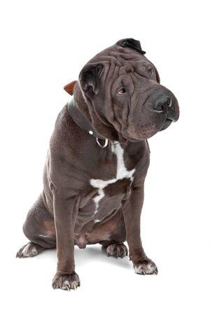 kampfhund: Shar pei, Shar-pei, chinesischen Shar-pei, isoliert, Hund, wei�, isoliert auf weiss, chinesische Bek�mpfung Hund, Falten, Sand Brown, Hund,  Lizenzfreie Bilder