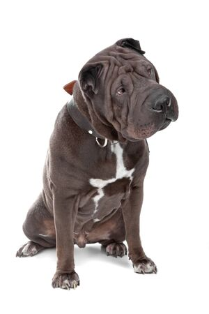 fighting dog: Shar pei, shar pei, cinese shar pei, isolato, cane, bianco, isolato su bianco, cinese cane, combattere le rughe, sabbia marrone, cane,