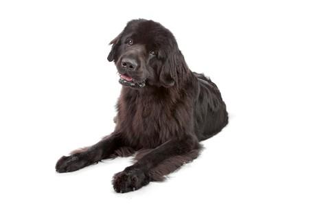 cane terranova: Cane di Newfoundland isolata on white