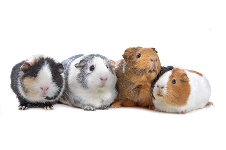 four Guinea pigs in a row isolated on white Stock Photo