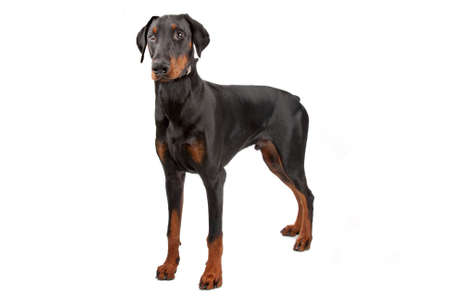 pinscher: Doberman Pinscher isolated on white