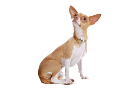perro chihuahua: Chihuahua dog aislado en blanco