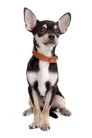 chihuahua dog: chihuahua dog isolated on white Stock Photo