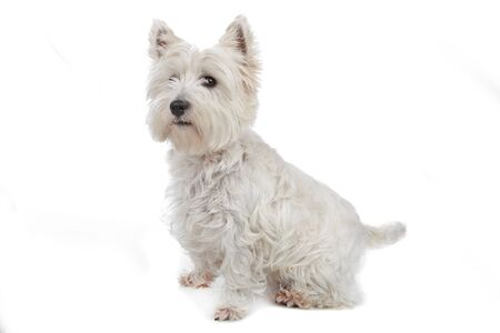 West Highland White Terrier isolated on white photo