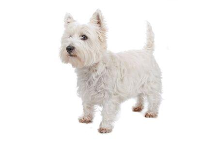 West Highland White Terrier isolated on white Imagens