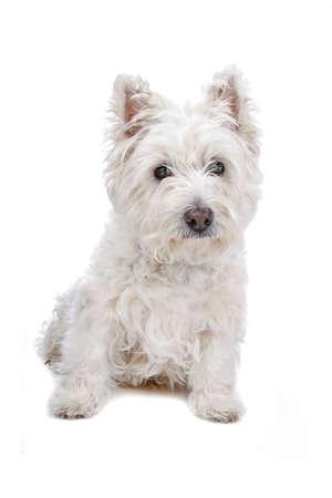 West Highland White Terrier isolated on white Stock Photo