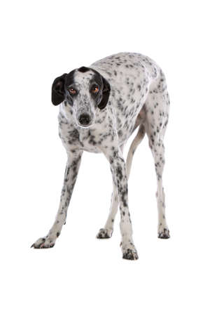white Greyhound dog with black spots isolated on a white background photo