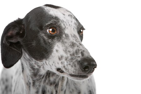 white Greyhound dog with black spots isolated on a white background Stock Photo - 8049600