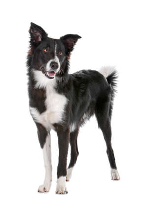 a border collie sheepdog isolated on a white background photo