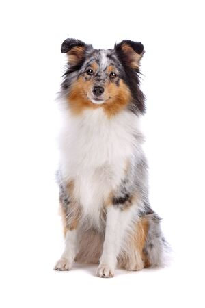 Shetland Sheepdog, Sheltie dog isolated on a white background photo