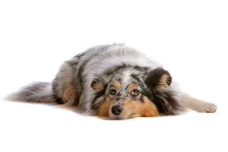 miniature collie: Shetland Sheepdog, Sheltie dog isolated on a white background Stock Photo