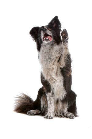 obedience: un perro collie de frontera aislado en un fondo blanco