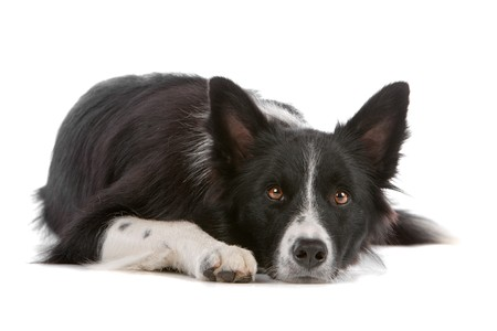 familiaris: a border collie sheepdog isolated on a white background