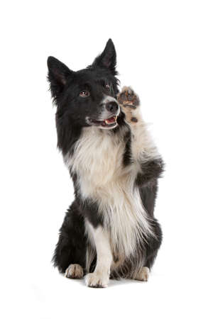 bordercollie: a border collie sheepdog isolated on a white background