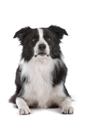 border collie: a border collie sheepdog isolated on a white background