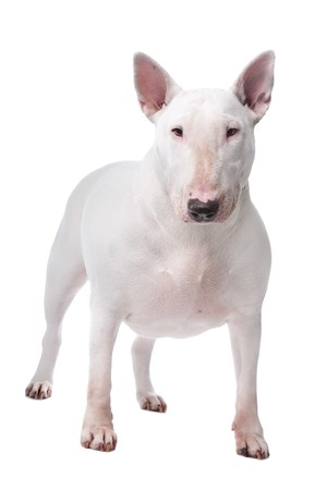 gardian: Bull terrier isolated on a white background Stock Photo