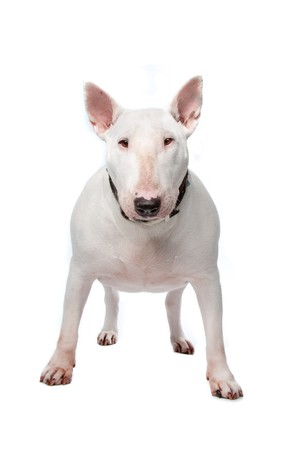 stocky: Bull terrier isolated on a white background Stock Photo