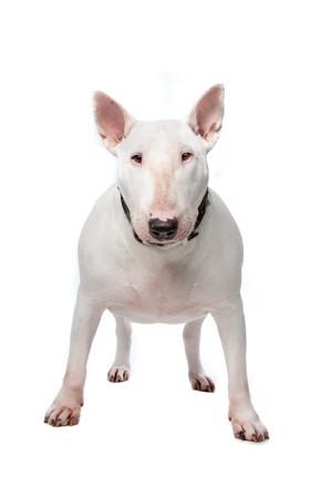 foso: Terrier de Toro aislado en un fondo blanco