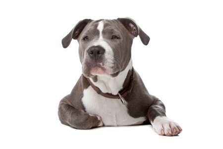 staffordshire: american staffordshire bull terrier isolated on a white background Stock Photo