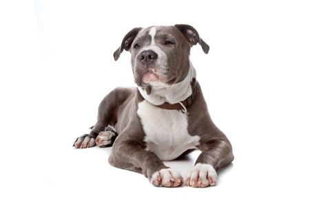 householder: american staffordshire bull terrier isolated on a white background Stock Photo