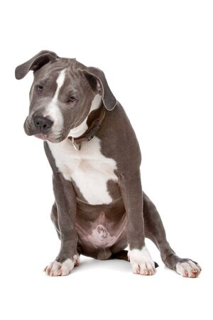 american staffordshire terrier: american staffordshire bull terrier isolated on a white background Stock Photo