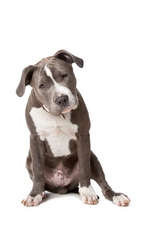 pit bull: american staffordshire bull terrier isolated on a white background Stock Photo