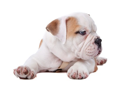 English Bulldog puppy lying down in front of white background Stock Photo - 8114004