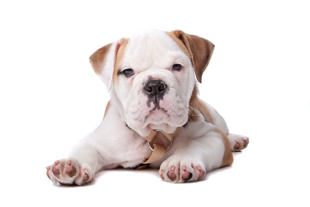 English Bulldog puppy lying down in front of white background photo