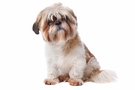 Shih Tzu in front of a white background Stock Photo - 8114001