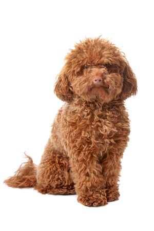 miniature breed: Caniche toy marr�n con acicalado cl�sico en una pose